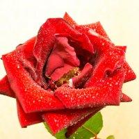 Роза :: Yuriy Beliy