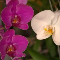 Орхидеи :: Наталья Кузнецова