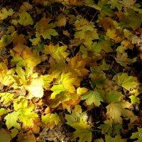 Кленовые листья :: Светлана Коваленко