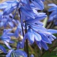 Первый цветок весны :: Светлана Коваленко