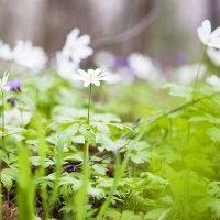 аромат весны :: Ирина Толмачева