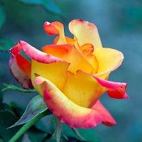 Роза, с осенним приветом... :: Елена Васильева