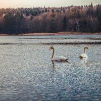 Благородные лебеди :: Владимир Хижко