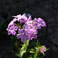 цветочки :: Анастасия Тихонова