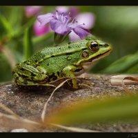 Про зеленую лягушку, мою дачную подружку :) :: Елена Kазак