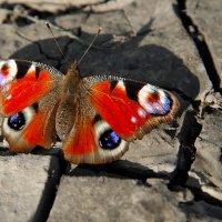 Бабочка :: Юрий Бичеров