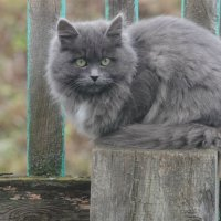 Серая кошка :: Ирина Горбунова