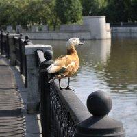 Утка на набережной Яузы, Москва. :: Анатолий Федотов