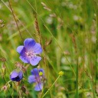 Полевой цветок :: Ирина Горбунова