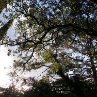 деревья :: Алексей Свириденко