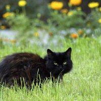 Черный кот :: Vyacheslav Slavnov