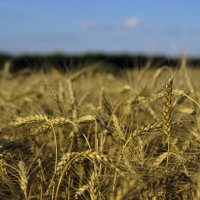 Новый урожай :: Павел Гусев