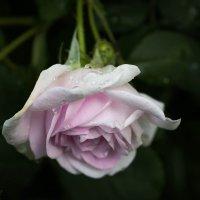 Роза :: Любовь Анищенко
