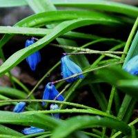 Первые цветы :: Екатерина Саенко