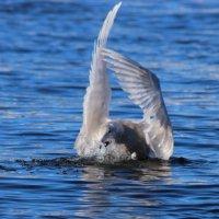 Один день из жизни чайки :: Александр Велигура
