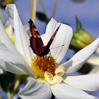 Бабачка на цветке. :: Виталий Дарханов