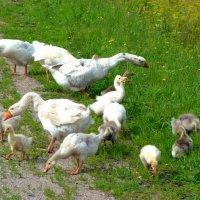 Гуси-лебеди. :: Лариса Борисова