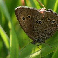 бабочка :: Сергей Румянцев
