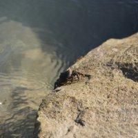 Crab at a stone :: Юрий Комаров