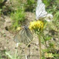 Бабочки :: светлана мартынова