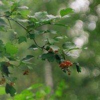 Дождик в лесу :: Сергей Водяницкий