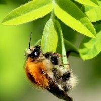 пчела :: Сергей Сергеевич