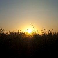 Дети кукурузных полей :: Екатерина Самсонова