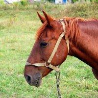 Портрет лошади :: Геннадий Федоров