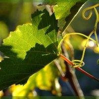 Лист винограда :: Дмитрий Скубаков
