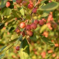 Осенние райские яблочки :: Ольга Рыбакова