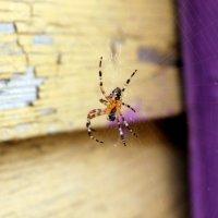 spider :: Arina Kekshoeva