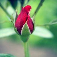 Rose :: Елизавета Горенкова