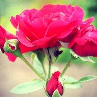 Роза :: Елизавета Горенкова