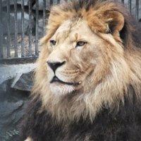Царь зверей :: светлана мартынова