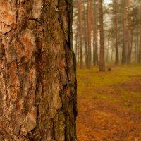 Хвойный лес :: Алексей McLaren95