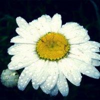 Роса на белых лепестках :: Евгения Берсенёва