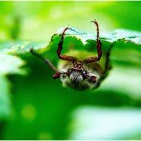 Melolontha-Майский жук :: Антон Богданов