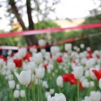 Тюльпаны :: Екатерина Белецкая