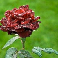 роза :: Михаил Рублевский