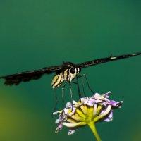 Бабочка :: Оксана Карцева