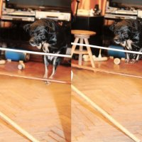 Конный спорт по собачьи :: Liza Zatravkina
