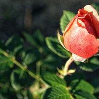 Роза :: Андрей Гендин