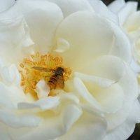 White flower :: Mila Kh