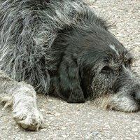 Старый пес :: Евгений Бодров