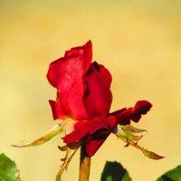 роза ноября :: Marina Timoveewa