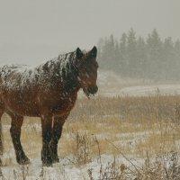 Снежный конь :: Сергей Шаврин
