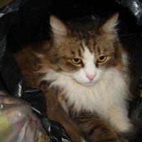 Барсик - люблю спать в пакетах :: татьяна Филатова