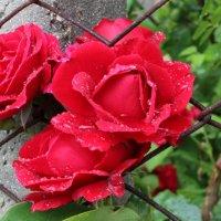 розы :: Евгения Пимченко