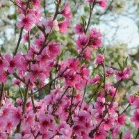 персик цветёт... :: Просто witamin