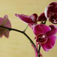 Орхидея :: Larisa ***